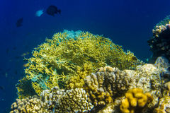 Yellow corals and fish. Corals deep in the sea. Clear water. Egypt Stock Images