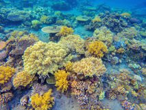 Yellow corals in tropical seashore. Undersea landscape photo. Fauna and flora of tropical shore. Coral reef underwater photo. Snorkeling in tropics. Exotic Stock Image