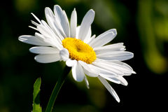 A yellow core daisy Stock Photo