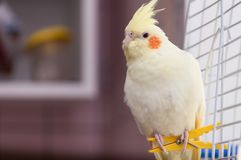 A yellow corella parrot with red cheeks and long feathers royalty free stock photography