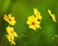 Yellow Coreopsis Daisies floers with blurred green background stock photo