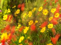 Yellow Coreopsis Daisies floers with blurred red flowers along a world peace pagoda garden royalty free stock photo