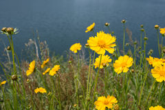 Yellow coreopsis flower Royalty Free Stock Photography