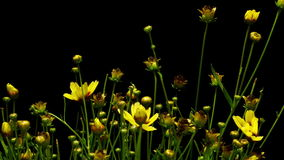 Yellow Coreopsis Flower Time-lapse stock video footage