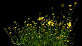Yellow Coreopsis Flower Time-lapse stock video
