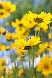 Yellow coreopsis flowers Royalty Free Stock Images