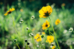 Yellow coreopsis flowers. Close up of yellow coreopsis flowers blooming in a garden Royalty Free Stock Photo