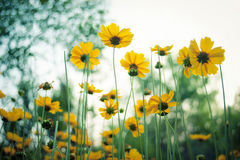 Yellow coreopsis flowers. Close up of yellow coreopsis flowers blooming in a garden Stock Photos