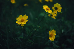 Yellow coreopsis flowers. Close up of yellow coreopsis flowers blooming in a garden Royalty Free Stock Images