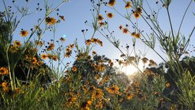 Yellow coreopsis flowers dance in the sun`s rays stock footage
