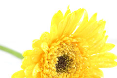 Yellow coreopsis with water drop Stock Images