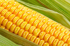 Yellow corn Stock Photos