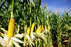 Yellow corn . Royalty Free Stock Photo