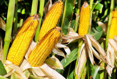 Yellow corn . Royalty Free Stock Image