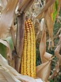 Yellow corn Stock Photography