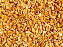 Yellow corn Stock Image