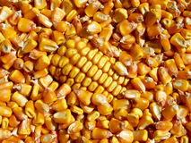 Yellow corn Royalty Free Stock Photo