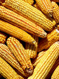 Yellow corn Royalty Free Stock Photos