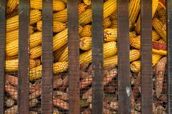 Yellow corn Stock Image