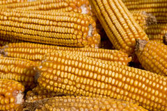 Yellow Corn. Cobs aligned, detail Royalty Free Stock Image