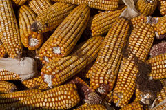 Yellow corn. Four yellow boiled corn close-up Royalty Free Stock Photography