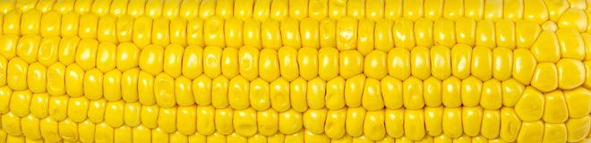 Yellow corn background, abstract backgrounds, harvest season
