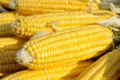 Yellow corn on cob Stock Images