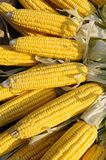 Yellow corn on cob Royalty Free Stock Image