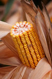 Yellow corn cob Stock Images