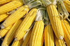 Yellow corn on cob Royalty Free Stock Photo