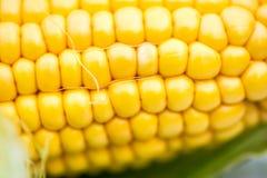 Yellow Corn Cob Closeup, Macro Shot. Shallow DOF, Selective Focus Stock Photos