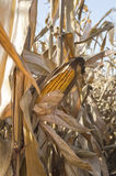 Yellow corn cob at field, agricultural concept. Stock Photo