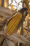 Yellow corn cob at field, agricultural concept. Royalty Free Stock Photography