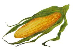 Yellow corn cob in green leaves. watercolor illustration