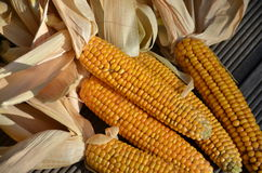 Yellow corn cobs. Are drying off in sunshine Stock Photography