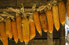 Yellow Corn Cobs Royalty Free Stock Photography