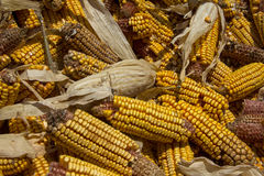 Yellow Corn Cobs Royalty Free Stock Images