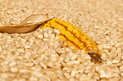 Yellow corn dry  head lying on white corn Stock Photography