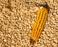 Yellow corn dry  head lying on white corn Royalty Free Stock Images