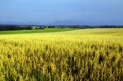 Yellow corn field Stock Photography