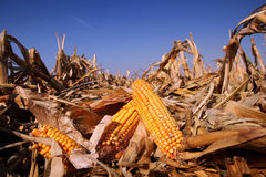 Yellow Corn in the  Field. Corn field in autumn on a bright sunny day. Shallow DOF Royalty Free Stock Photography