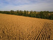 Yellow corn field. Royalty Free Stock Photos