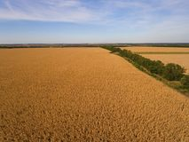 Yellow corn field. Royalty Free Stock Photo