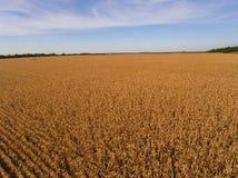 Yellow corn field. Royalty Free Stock Photo