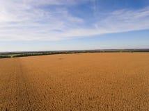 Yellow corn field. Stock Image