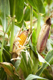 Yellow corn in the field. Close-up of yellow corn in agricultural field ready for harvesting Royalty Free Stock Photo