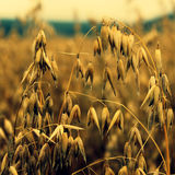 Yellow Corn Field Royalty Free Stock Image