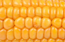 Yellow corn Royalty Free Stock Image