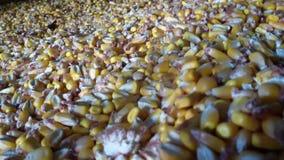 Yellow corn grain. Gold Royalty Free Stock Photography