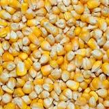 Yellow corn grains Stock Photos